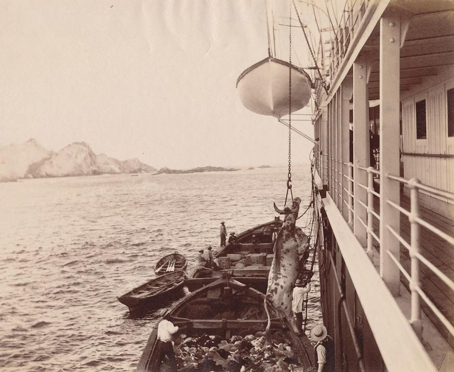 Loading the Carcasses South America C1890