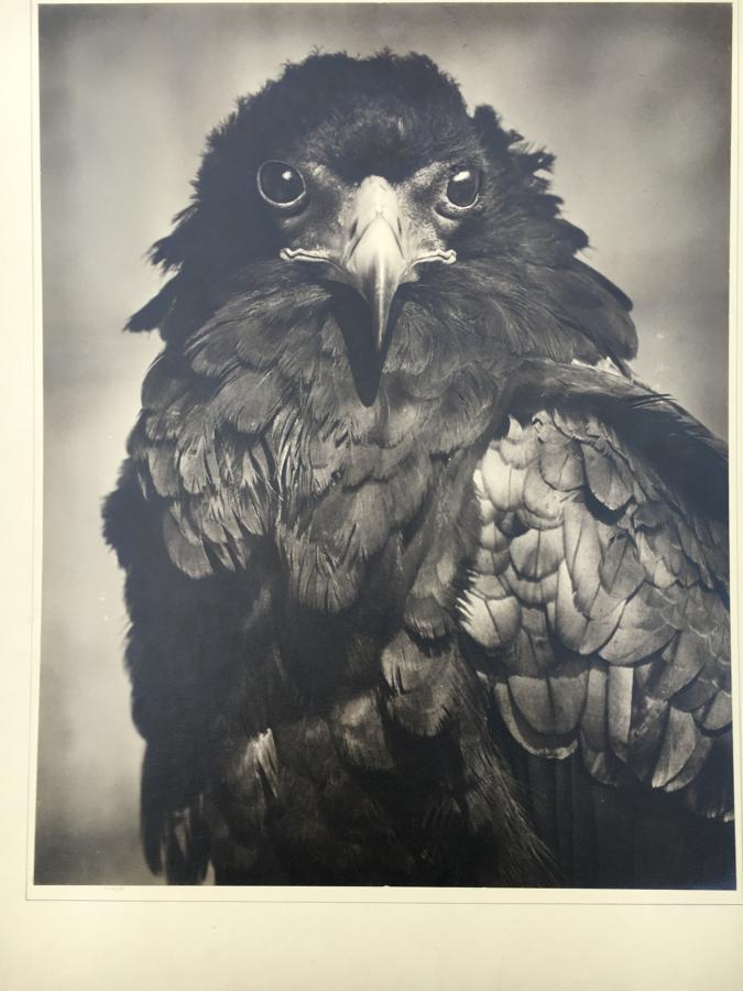 East African Bateleur Eagle T.Middleton 1950