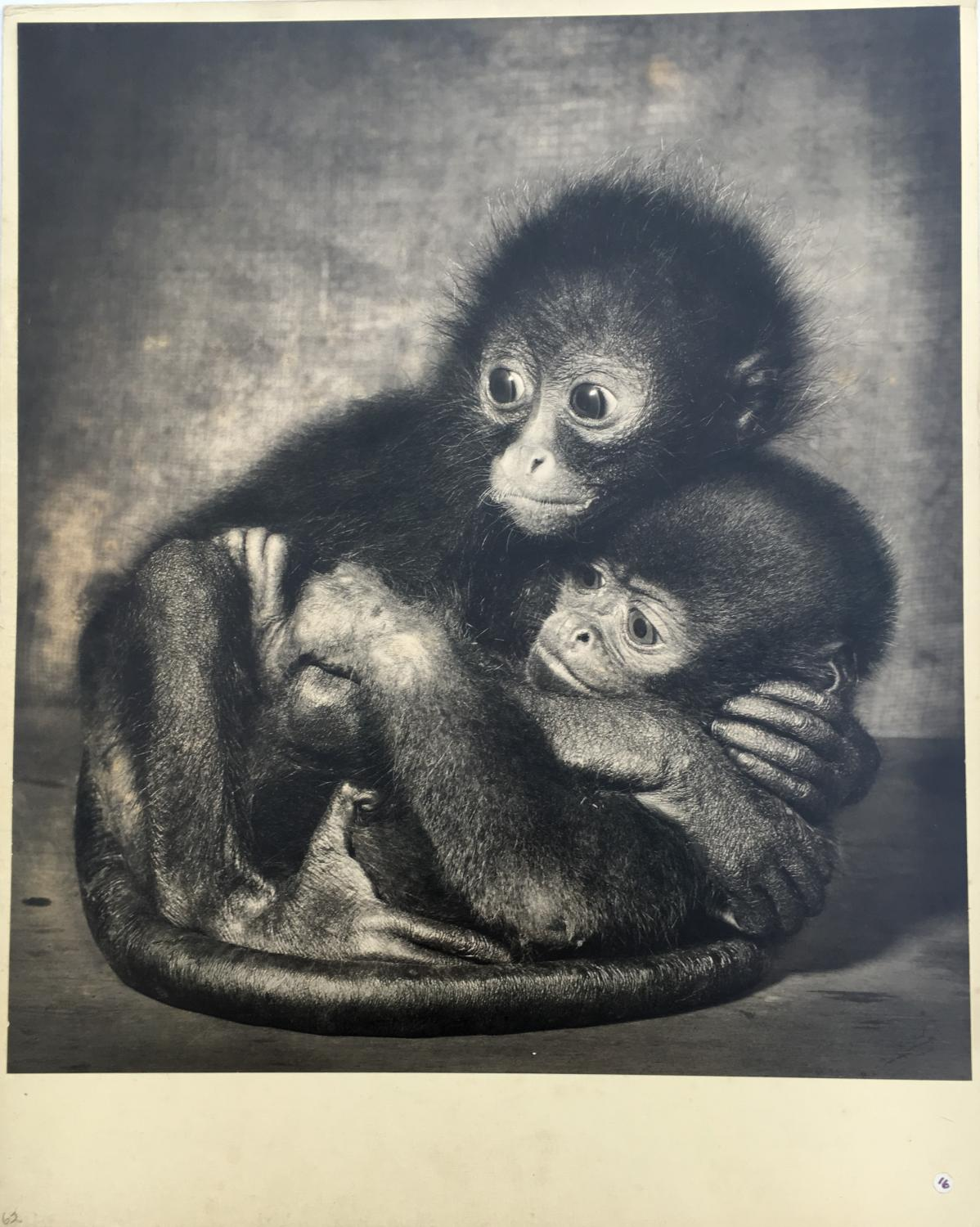 Woolley and Spider Monkeys T.Middleton 1961
