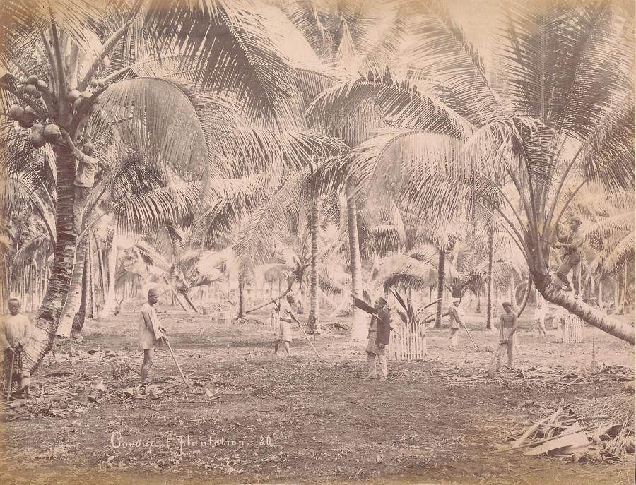 Coconut Plantation Penang, Malaysia  C1890
