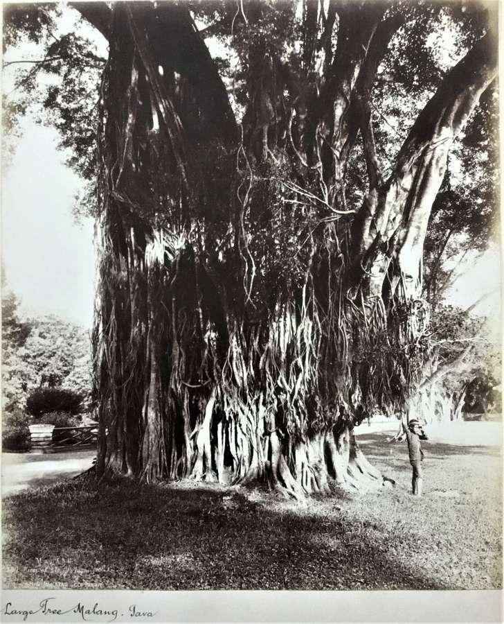 Large Tree Malang Java Indonesia C1895