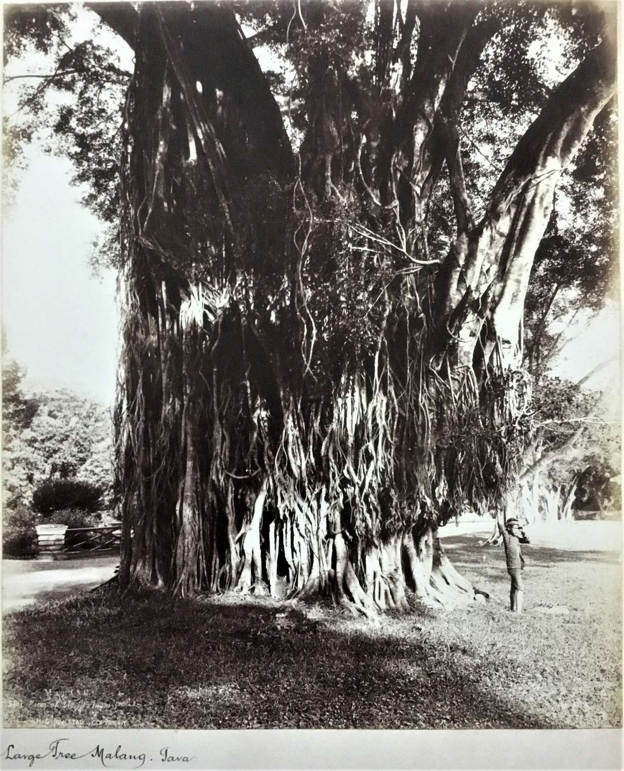 Large Tree Malang Java Indonesia C1895