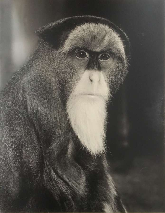Brazza Monkey By T.Middleton F.R.P.S. 1961