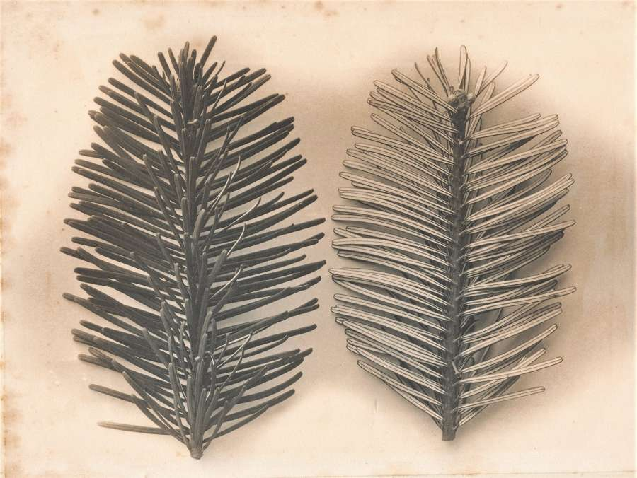 Pine Leaves England C1900
