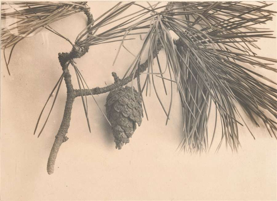 Pine Leaves and Cone England C1900