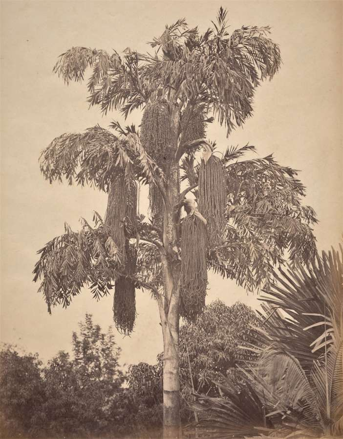 Palm Trees Colombo Ceylon C1890