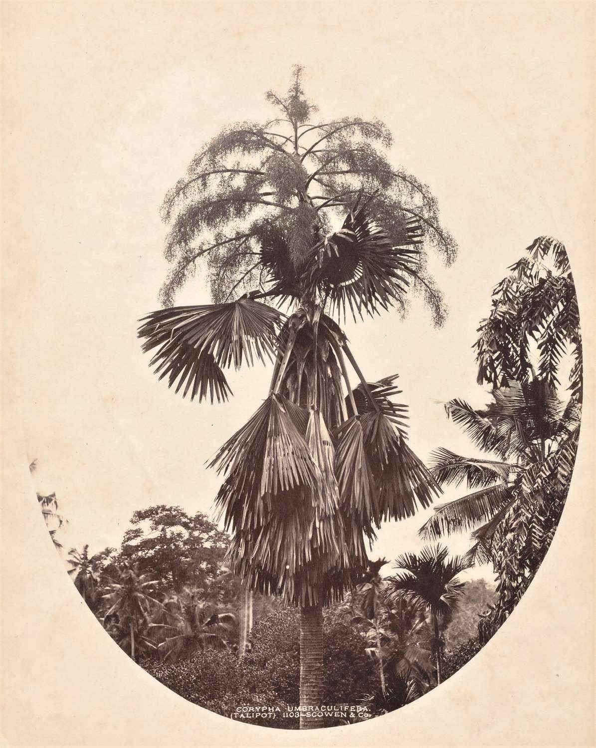 Palm Trees Ceylon By Scowen & Co C1880