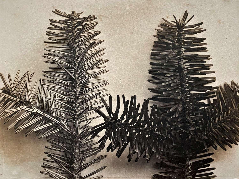 Pine Leaves England C1900