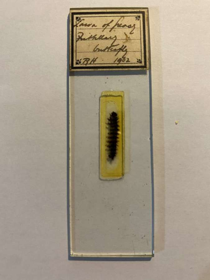 Microscope Slide Entomology By R H ( Richard Hancock ) 1902