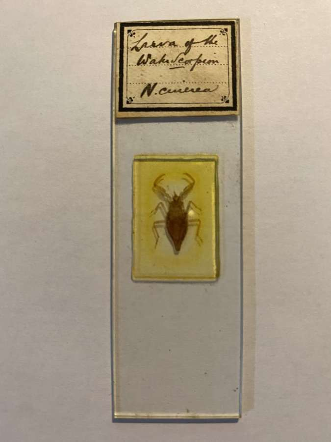 Microscope Slide Entomology By R H ( Richard Hancock )