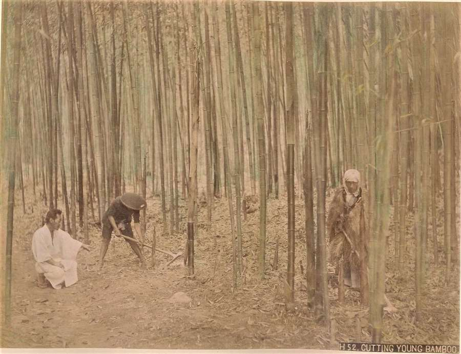 Hand Coloured Photo Cutting Young Bamboo Japan C1880