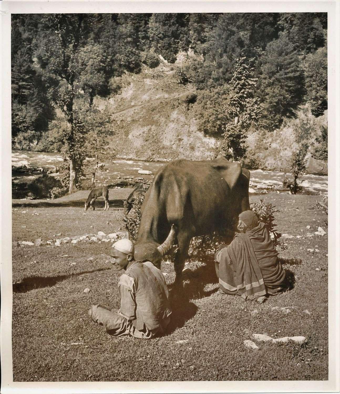 Milking a Cow in Kashmir ? Kashmir India C1920