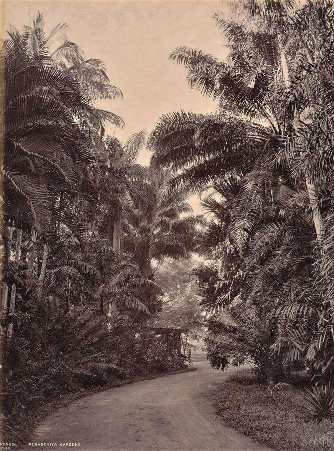 Peradeniya Gardens Ceylon By Scowen & Co C1880