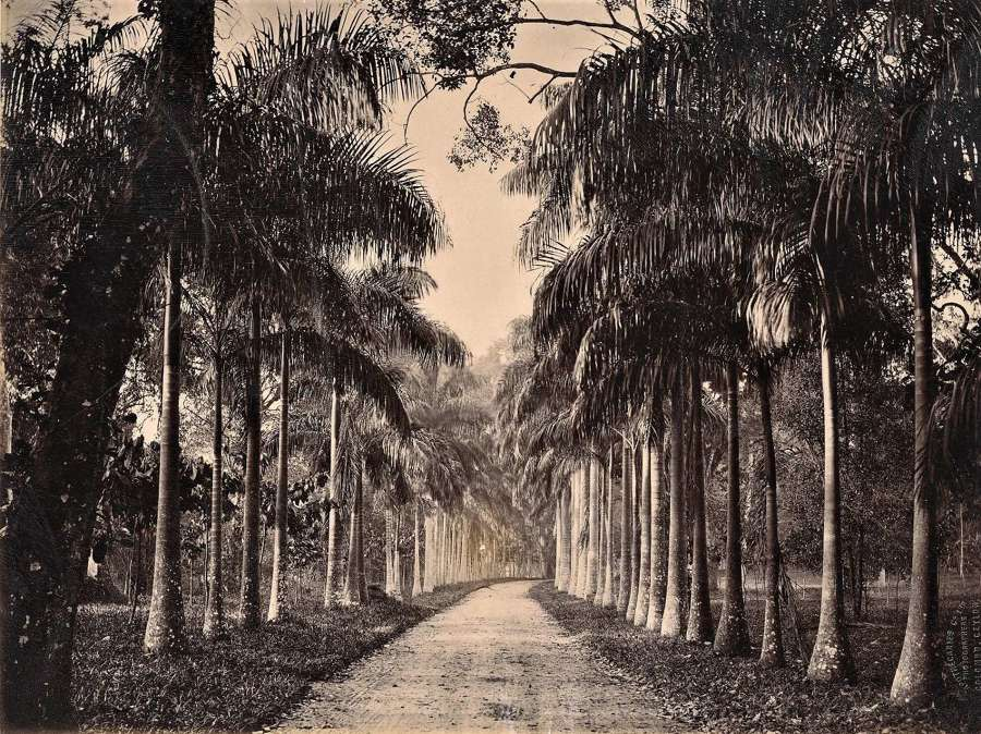 An Avenue of Palm Trees Ceylon By Apothecaries & Co Ltd C1880
