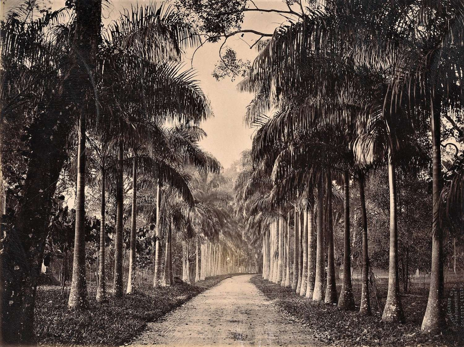 An Avenue of Palm TreesCeylon By Apothecaries & Co Ltd C1880